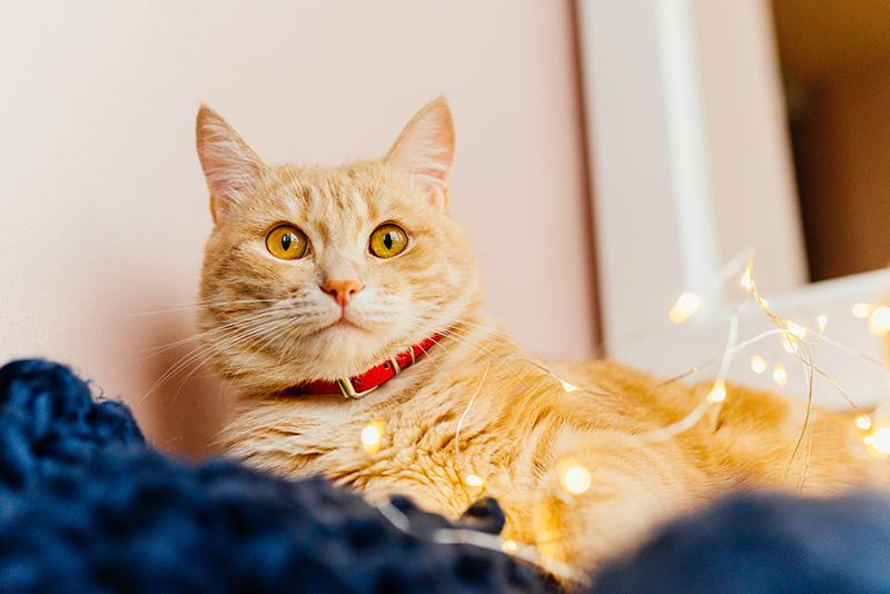 Macska nyakörvvel